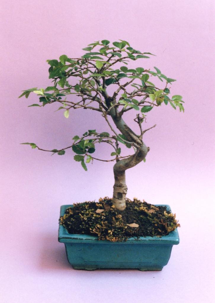 bonsai richtig schneiden haus garten meister. Black Bedroom Furniture Sets. Home Design Ideas